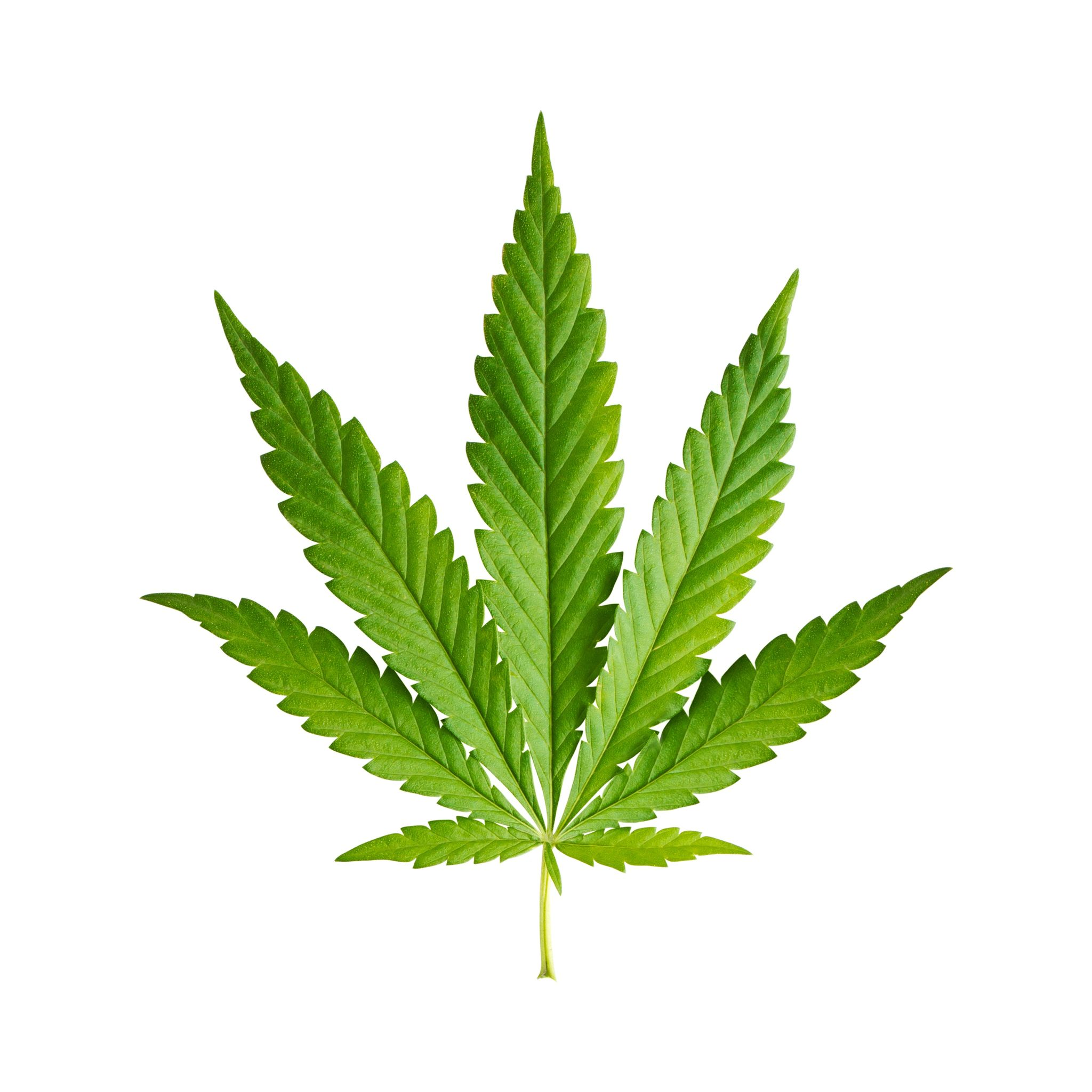 15890419 – cannabis leaf isolated on white background