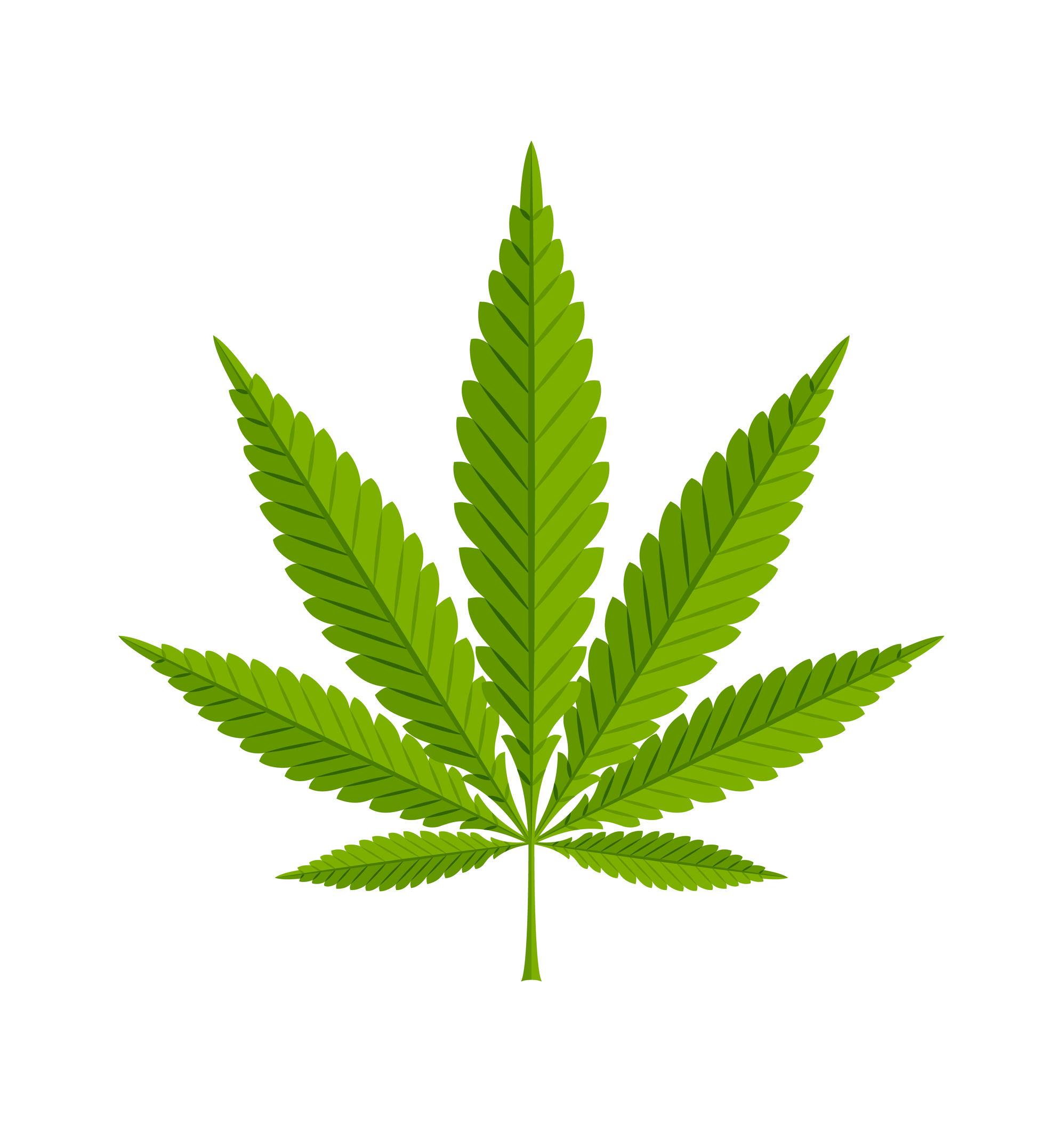 Marijuana hemp leaf on white background